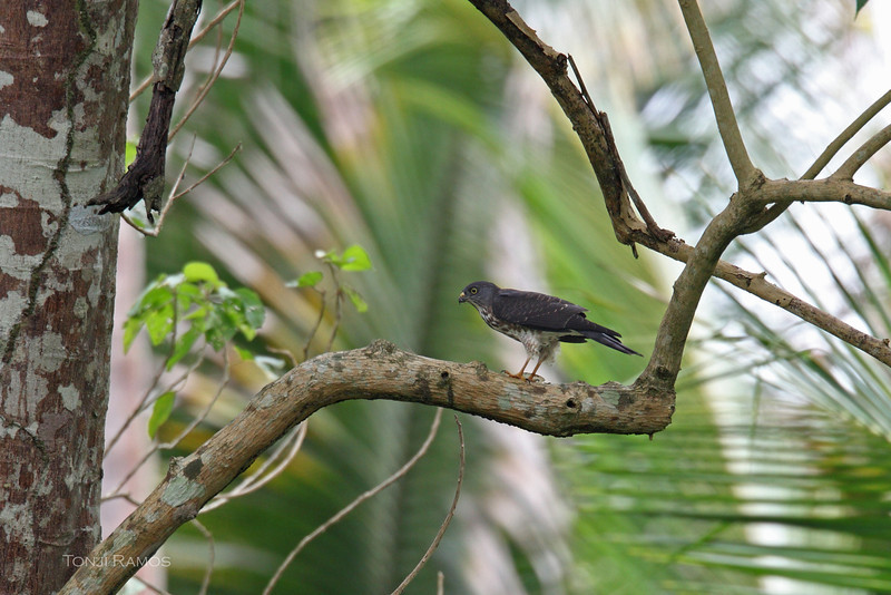 CHINESE GOSHAWK <i>Accipiter soloensis</i> Sibulan, Negros Oriental, Philippines