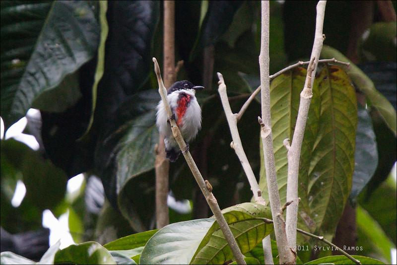 VISAYAN FLOWERPECKER aka Black-belted Flowerpecker <i>Dicaeum haematostictum</i> Liptong Woodlands, Bacong, Negros Oriental