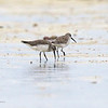 "CURLEW SANDPIPER <i>Calidris ferruginea</i> Olango, Cebu  more pictures in the <a href=""http://tonjiandsylviasbirdlist.smugmug.com/List/shore/cs/22082568_XTq2NM"">Curlew Sandpiper gallery</a>"