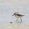 "BROAD-BILLED SANDPIPER <i>Limcola falcinellus</i> Olango, Cebu  more pictures in the <a href=""http://tonjiandsylviasbirdlist.smugmug.com/List/shore/bbsp/22082463_xKLRHz"">Broad-billed Sandpiper gallery</a>"