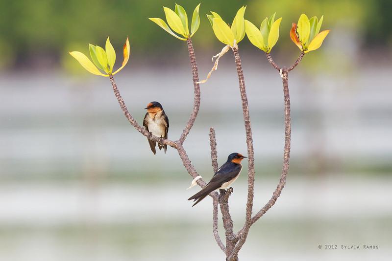 "PACIFIC SWALLOW <i>Hirundo rustica</i> Olango, Cebu  more pictures in the <a href=""http://tonjiandsylviasbirdlist.smugmug.com/List/Swallows/Pacific-Swallow/7314940_WMCd42"">Pacific Swallow gallery</a>"