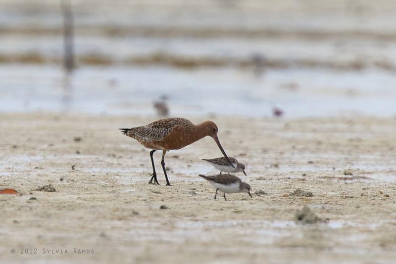 "BAR-TAILED GODWIT, breeding plumage <i>Limosa lapponica</i> Olango, Cebu, Philippines  more pictures in the <a href=""http://tonjiandsylviasbirdlist.smugmug.com/List/shore/BTG/11344365_PbrM3s"">Bar-tailed Godwit gallery</a>"
