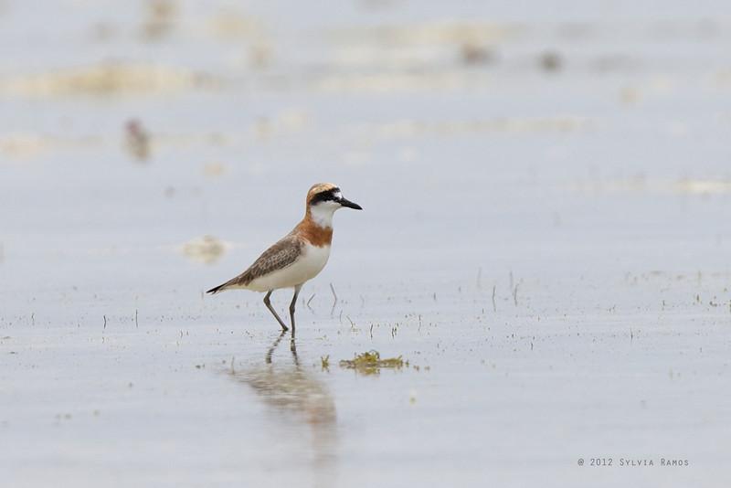 "GREATER SAND PLOVER, breeding plumage <i>Charadrius leschenaultii</i> Olango Island, Cebu, Philippines  more pictures in the <a href=""http://tonjiandsylviasbirdlist.smugmug.com/List/charadriidae/Greater-Sand-Plover/10178615_FXzwfj"">Greater Sand Plover gallery</a>"