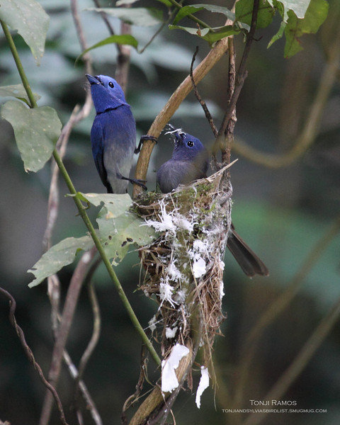 """BLACK NAPED MONARCH <i>Hypothymis azurea</i> Mt.Palay Palay, Cavite  Male and female hard at work on the nest.  More pictures of this bird in the <a href=""""http://tonjiandsylviasbirdlist.smugmug.com/gallery/8087524_NqeGQ/1/527801120_yDzkb"""">Black Naped Monarch gallery</a>"""