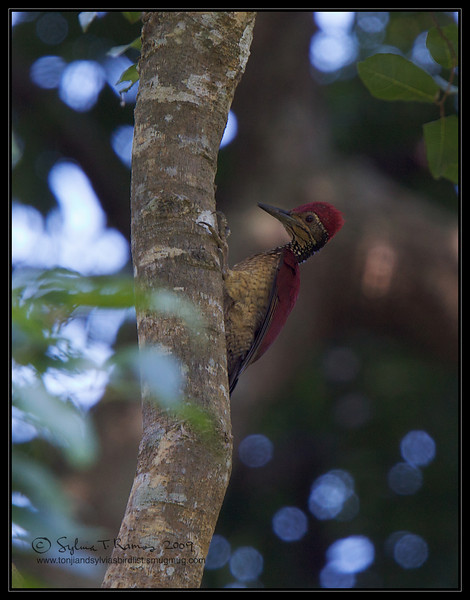 """GREATER FLAMEBACK, male <i>Chrysocolaptes lucidus</i> Mt. Palay Palay, Cavite, Philippines  More pictures in the <a href=""""http://tonjiandsylviasbirdlist.smugmug.com/gallery/7605290_2VrTT/1/582304127_UpdWH"""">Greater Flameback gallery</a>"""