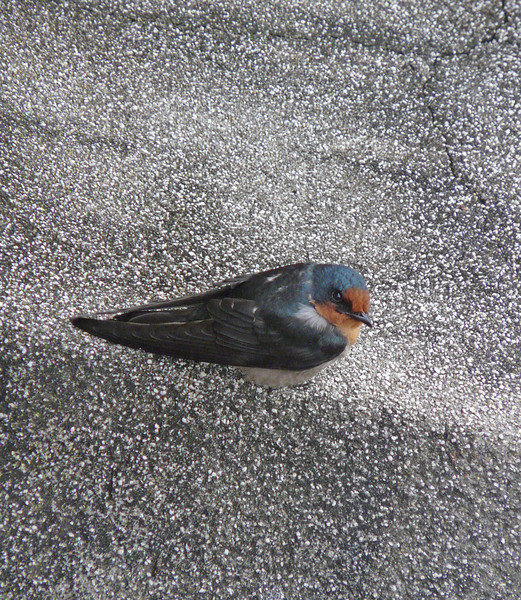 """PACIFIC SWALLOW <i>Hirundo rustica</i> Caylabne, Cavite, Philippines  more pictures in the <a href=""""http://tonjiandsylviasbirdlist.smugmug.com/The-Bird-List/Swallows/Pacific-Swallow/7314940_ekpNi/1/470543088_Q7BRX"""">Pacific Swallow gallery</a>"""