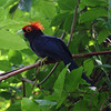 "RED CRESTED MALKOHA (ROUGH CRESTED MALKOHA) <i>Dasylophus superciliosus</i> Mt. Palay Palay, Cavite  Finally got a decent picture in May 2009.  More pictures of this bird in the <a href=""http://tonjiandsylviasbirdlist.smugmug.com/gallery/7799157_quwLY/1/509361225_CnFT5"">Red Crested Malkoha gallery<a/>"