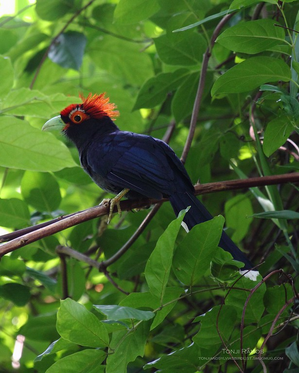 """RED CRESTED MALKOHA (ROUGH CRESTED MALKOHA) <i>Dasylophus superciliosus</i> Mt. Palay Palay, Cavite  Finally got a decent picture in May 2009.  More pictures of this bird in the <a href=""""http://tonjiandsylviasbirdlist.smugmug.com/gallery/7799157_quwLY/1/509361225_CnFT5"""">Red Crested Malkoha gallery<a/>"""