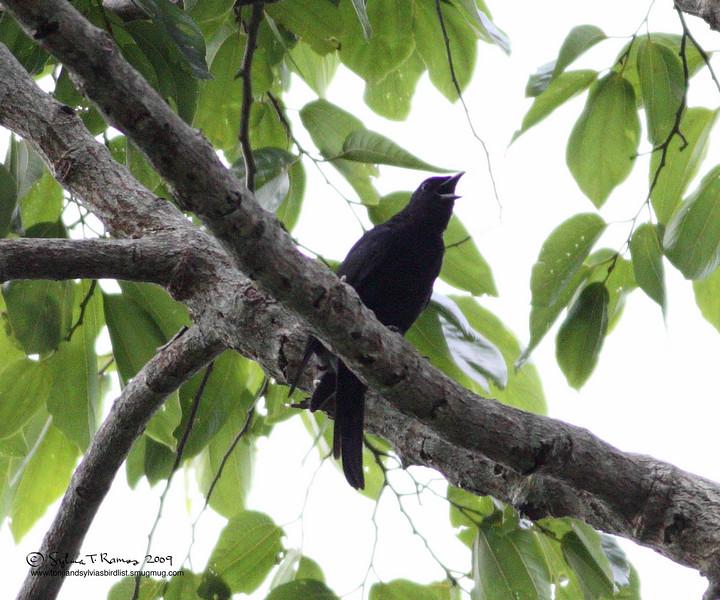 "BLACKISH CUCKOO SHIKE <i>Coracina coerulescens</i> Mt Palay Palay, Cavite, Philippines  more pictures in the <a href=""http://tonjiandsylviasbirdlist.smugmug.com/The-Bird-List/Larks-and-Cuckoo-Shrikes/Blackish-Cuckoo-Shrike/7866005_4TtTs/1/582311236_fyR58"">Blackish Cuckoo Shrike gallery</a>"