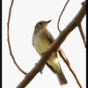 """BLUE AND WHITE FLYCATCHER, female <i>Cyanoptila cyanomelana</i> Mt. Palay Palay, Cavite, Philippines  more pictures in the <a href=""""http://tonjiandsylviasbirdlist.smugmug.com/The-Bird-List/Flycatchers-and-Fantails/BWFC/10162555_VdLSk/1/701433507_FnuXM"""">Blue and White Flycatcher gallery</a>"""
