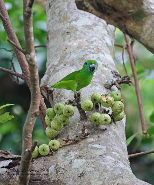 "GUAIABERO  <i>Bolpopsittacus lunulatus</i> Mt. Palay Palay, Cavite, Philippines  more pictures in the <a href=""http://tonjiandsylviasbirdlist.smugmug.com/gallery/7382503_odzdD/1/582305688_EfWTv"">Guiabero gallery</a>"
