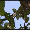 "PYGMY FLOWERPECKER  <i>Dicaeum pygmaeum</i> Mt. Palay-palay, Cavite, Philippines  more pictures in the <a href=""http://tonjiandsylviasbirdlist.smugmug.com/The-Bird-List/Sunbirds-and-Flowerpeckers/Pygmy-Flowerpecker/10222591_vm63g/1/704791357_H645g"">Pygmy Flowerpecker gallery</a>"