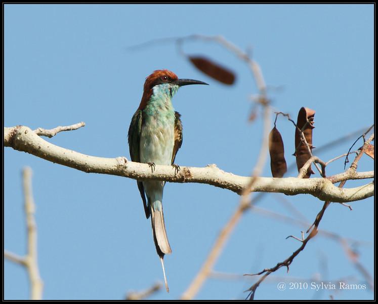 BLUE THROATED BEE EATER <i>Merops viridis</i> Mt. Palay-palay, Cavite