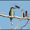 BLUE THROATED BEE EATER <i>Merops viridis</i> Mt. Palay-palay, Cavite