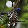 """BLACK NAPED MONARCH <i>Hypothymis azurea</i> Mt.Palay Palay, Cavite  Using spiderwebs for the nest.  More pictures of this bird in the <a href=""""http://tonjiandsylviasbirdlist.smugmug.com/gallery/8087524_NqeGQ/1/527801120_yDzkb"""">Black Naped Monarch gallery</a>"""