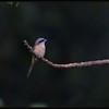 "BROWN SHRIKE <i>Lanius cristatus</i> Mt. Palay-palay, Cavite, Philippines  more pictues in the <a href=""http://tonjiandsylviasbirdlist.smugmug.com/The-Bird-List/Woodswallow-Shrikes-Starlings/Brown-Shrike/7315192_jwrHi/1/684281084_4LfRQ"">Brown Shrike gallery</a>"