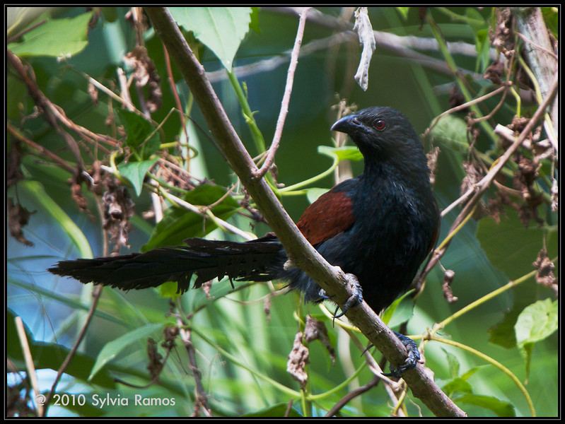 """PHILIPPINE COUCAL <i>Centropus viridis</i> Mt. Palay-Palay, Cavite, Philippines  More pictures of this bird in the <a href=""""http://tonjiandsylviasbirdlist.smugmug.com/gallery/7346868_ekGMZ/1/549973983_vRWtj"""">Philippine Coucal gallery</a>"""