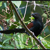 "PHILIPPINE COUCAL <i>Centropus viridis</i> Mt. Palay-Palay, Cavite, Philippines  More pictures of this bird in the <a href=""http://tonjiandsylviasbirdlist.smugmug.com/gallery/7346868_ekGMZ/1/549973983_vRWtj"">Philippine Coucal gallery</a>"