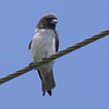 """WHITE BREASTED WOODSWALLOW  <i>Artamus leucorynchus</i> Mt. Palay Palay, Cavite, Philippines  More pictures of this bird in the <a href=""""http://tonjiandsylviasbirdlist.smugmug.com/gallery/7302794_A8TtV/1/501860904_edq43"""">White Breasted Woodswallow gallery<a/>"""