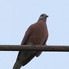 "RED TURTLE DOVE <i>Streptopelia tranquebarica</i>  more pictures in the <a href=""http://tonjiandsylviasbirdlist.smugmug.com/The-Bird-List/Doves-and-Pigeons/Red-Turtle-Dove/7346724_cj7w9/1/554433788_ScjGd"">Red Turtle Dove gallery</a>"