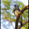 """BLUE AND WHITE FLYCATCHER, male <i>Cyanoptila cyanomelana</i> Mt. Palay Palay, Cavite, Philippines  more pictures in the <a href=""""http://tonjiandsylviasbirdlist.smugmug.com/The-Bird-List/Flycatchers-and-Fantails/BWFC/10162555_VdLSk/1/701433507_FnuXM"""">Blue and White Flycatcher gallery</a>"""