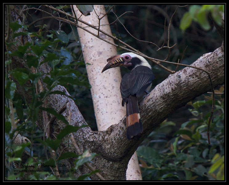 """TARICTIC HORNBILL, male <i>Penelopides manillae</i> Mt. Palay Palay, Cavite, Philippines  more pictures in the <a href=""""http://tonjiandsylviasbirdlist.smugmug.com/The-Bird-List/Hornbills/Tarictic-Hornbill/7605031_7YCN3/1/705540402_Eby29"""">Tarictic Hornbill gallery<a/>"""