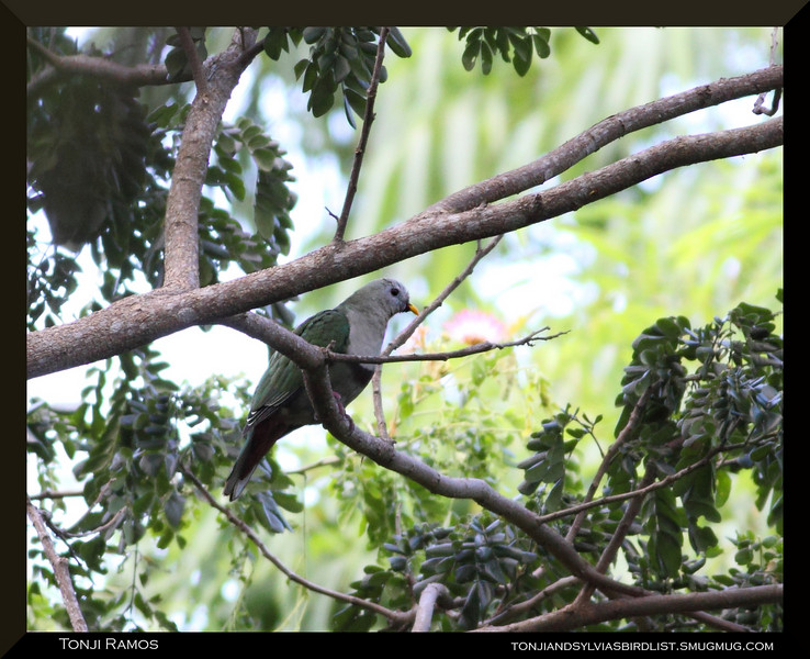 """BLACK CHINNED FRUIT DOVE <i>Ptilinopus leclancheri</i> Caylabne, Cavite  We saw this bird again in Caylabne. It was a bit far and it was alone.  more pictures in the <a href=""""http://tonjiandsylviasbirdlist.smugmug.com/The-Bird-List/Doves-and-Pigeons/Black-chinned-Fruit-Dove/9007752_vKYyn/1/711013964_vCfft"""">Black Chinned Fruit Dove gallery</a>"""