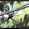 "BLACK CHINNED FRUIT DOVE <i>Ptilinopus leclancheri</i> Caylabne, Cavite  We saw this bird again in Caylabne. It was a bit far and it was alone.  more pictures in the <a href=""http://tonjiandsylviasbirdlist.smugmug.com/The-Bird-List/Doves-and-Pigeons/Black-chinned-Fruit-Dove/9007752_vKYyn/1/711013964_vCfft"">Black Chinned Fruit Dove gallery</a>"