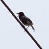 """PIED BUSHCHAT <i>Saxicola caprata</i> Mt. Palay-Palay, Cavite, Philippines  More pictures of this bird in the <a href=""""http://tonjiandsylviasbirdlist.smugmug.com/gallery/7362574_wRA6s/1/549873928_Hk52s"""">Pied Bushchat gallery</a>"""