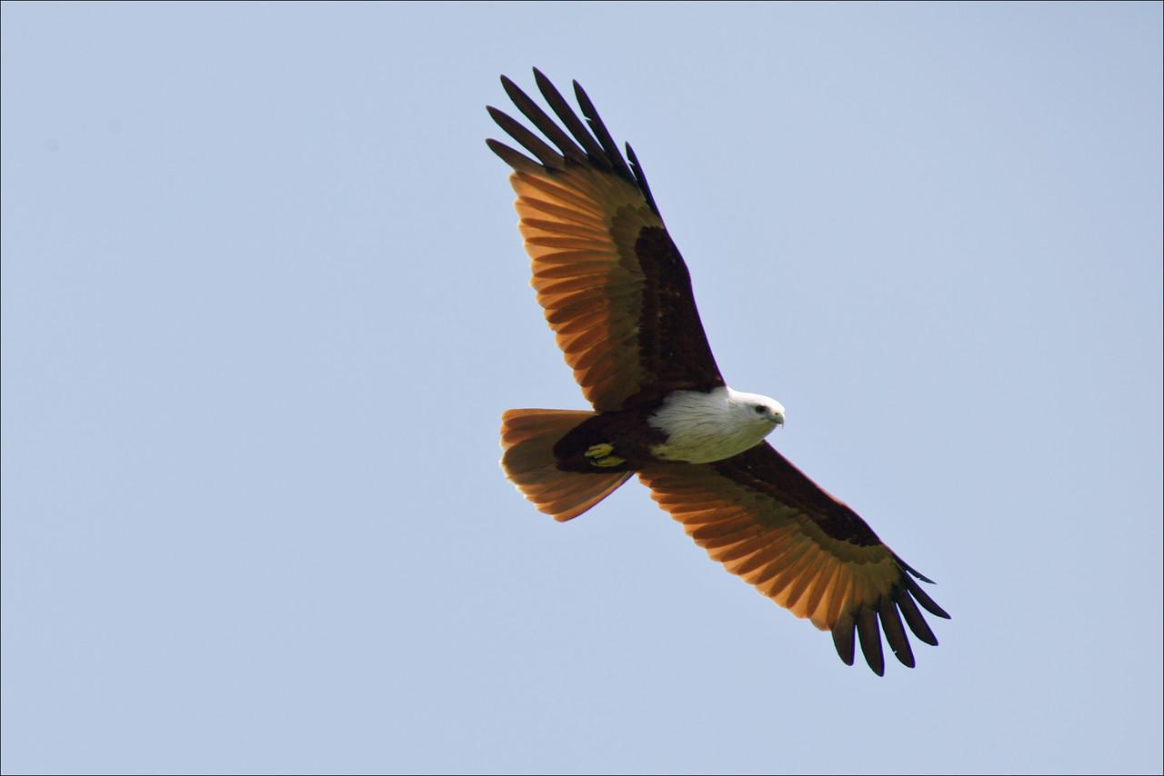 "BRAHMINY KITE <i>Haliastur indus</i> Mt. Palay Palay, Cavite, Philippines  more pictures in the <a href=""http://tonjiandsylviasbirdlist.smugmug.com/The-Bird-List/Osprey-Buzzards-Hawks-and/Brahminy-Kite/7315142_pdKgx/1/608359945_Yb86D"">Brahminy Kite gallery</a>"