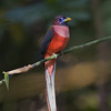 "PHILIPPINE TROGON male <i>Harpactes ardens</i> Mt. Palay Palay, Cavite, Philippines  more pictures in the <a href=""http://tonjiandsylviasbirdlist.smugmug.com/The-Bird-List/Trogons-and-Rollers/PT/8258230_ZE4Vv/1/699269113_T8nUk"">Philippine Trogon gallery</a>"
