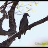 "BAR BELLIED CUCKOO SHRIKE <i>Coracina striata</i> Mt. Palay-palay, Cavite, Philippines  more pictures in the <a href=""http://tonjiandsylviasbirdlist.smugmug.com/The-Bird-List/Larks-and-Cuckoo-Shrikes/Bar-Bellied-Cuckoo-Shrike/7605408_99TC2/1/705554723_djGrK"">Bar-bellied Cuckoo Shrike gallery</a>"