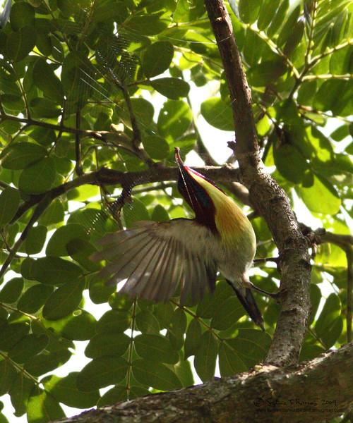 "LOVELY SUNBIRD, male <i>Aethopyga shelleyi</i> Sabang, Palawan, Philippines  More pictures in the <a href=""http://tonjiandsylviasbirdlist.smugmug.com/gallery/8590522_EVvEE/1/568101988_t2Mer"">Lovely Sunbird gallery</a>"