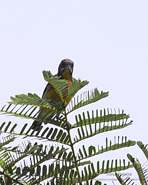 """PALAWAN FLOWEPECKER <i>Prionochilus plateni</i> Sabang, Palawan, Philippines  More pictures in the <a href=""""http://tonjiandsylviasbirdlist.smugmug.com/gallery/8591365_onefk/1/567995037_LPFCq"""">Palawan Flowerpecker gallery</a>"""