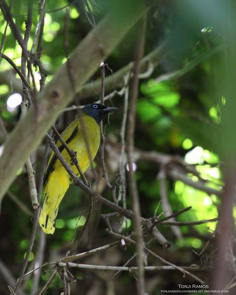 "BLACK HEADED BULBUL <i>Pycnonotus atriceps</i> Sabang, Palawan, Philippines  More pictures in the <a href=""http://tonjiandsylviasbirdlist.smugmug.com/gallery/8590751_Gri3K/1/567893523_wHzCC"">Black-Headed Bulbul gallery</a>"