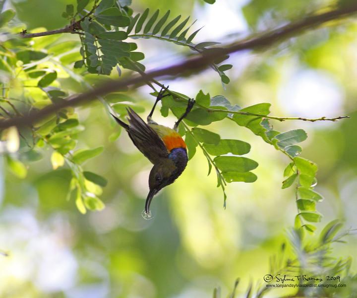 "OLIVE BACKED SUNBIRD, male <i>Nectarinia jugularis aurora</i> Sabang, Palawan, Philippines  More pictures in the <a href=""http://tonjiandsylviasbirdlist.smugmug.com/gallery/7303763_Hme8U/1/568102801_46ykz"">Olive Backed Sunbird gallery</a>"