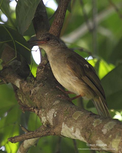 "OLIVE-WINGED BULBUL <i>Pycnonotous plumosus</i> Sabang, Palawan, Philippines  More pictures in the <a href=""http://tonjiandsylviasbirdlist.smugmug.com/gallery/8590897_QzZ9q/1/566404194_k9WZg"">Olive-Winged Bulbul gallery</a>"