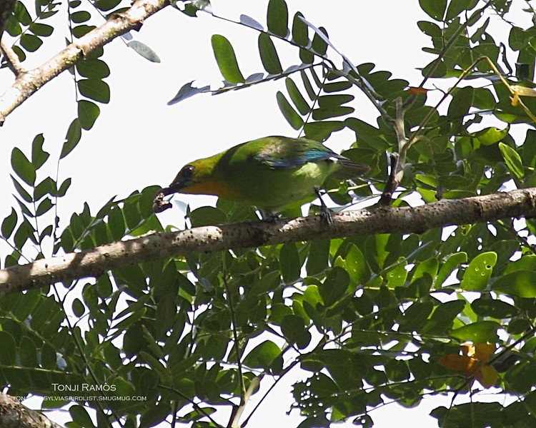 """YELLOW-THROATED LEAFBIRD <i>Chloropsis palawanensis</i> Sabang, Palawan, Philippines  More pictures in the <a href=""""http://tonjiandsylviasbirdlist.smugmug.com/gallery/8591112_rNCjL/1/563824736_UurLK"""">Yellow-Throated Leafbird gallery</a>"""