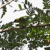 "YELLOW-THROATED LEAFBIRD <i>Chloropsis palawanensis</i> Sabang, Palawan, Philippines  More pictures in the <a href=""http://tonjiandsylviasbirdlist.smugmug.com/gallery/8591112_rNCjL/1/563824736_UurLK"">Yellow-Throated Leafbird gallery</a>"