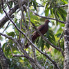 "PHILIPPINE CUCKOO DOVE <i>Macropygia tenuirostris</i> Sabang, Palawan, Philippines  More pictures in the <a href=""http://tonjiandsylviasbirdlist.smugmug.com/gallery/8609354_QDpE9/1/568146806_LGpaV"">Philippine Cuckoo Dove gallery</a>"