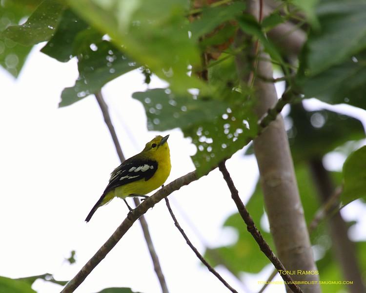 COMMON IORA <i>Aegithina tiphia</i> Sabang, Palawan, Philippines