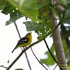 COMMON IORA <i>Aegithina tiphia</i> Sabang, Palawan, Philippines