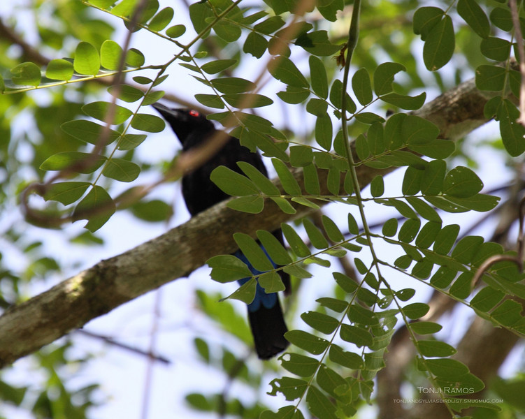 ASIAN FAIRY-BLUEBIRD <i>Irena puella</i> Sabang, Palawan, Philippines  This bird did not stay for more than 7 or 8 seconds and we need to get a better photo next time. The tail is different from a Drongo, it has bright red eyes and the bright blue on the tail. We hope to encounter it again.
