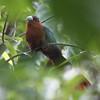 CHESTNUT- BREASTED MALKOHA <i>Phaenicophaeus curvirostris</i> Sabang, Palawan, Philippines