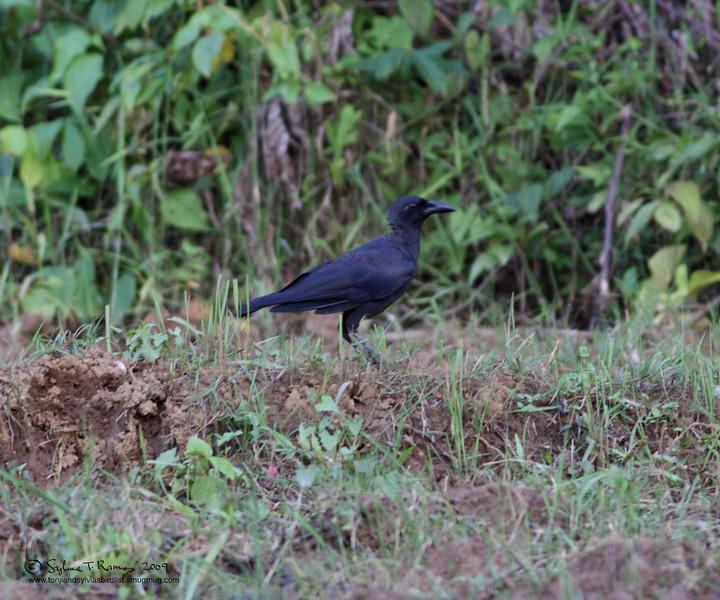 SLENDER-BILLED CROW <i>Corvus enca</i> Sabang, Palawan, Philippines