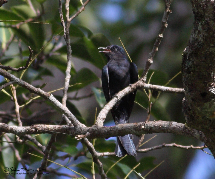 "ASIAN DRONGO-CUCKOO <i>Sumiculus lugubris</i> Sabang, Palawan, Philippines  More pictures in the <a href=""http://tonjiandsylviasbirdlist.smugmug.com/gallery/8609534_7uKKR/1/567842186_9sxGH"">Asian Drongo Cuckoo gallery</a>"