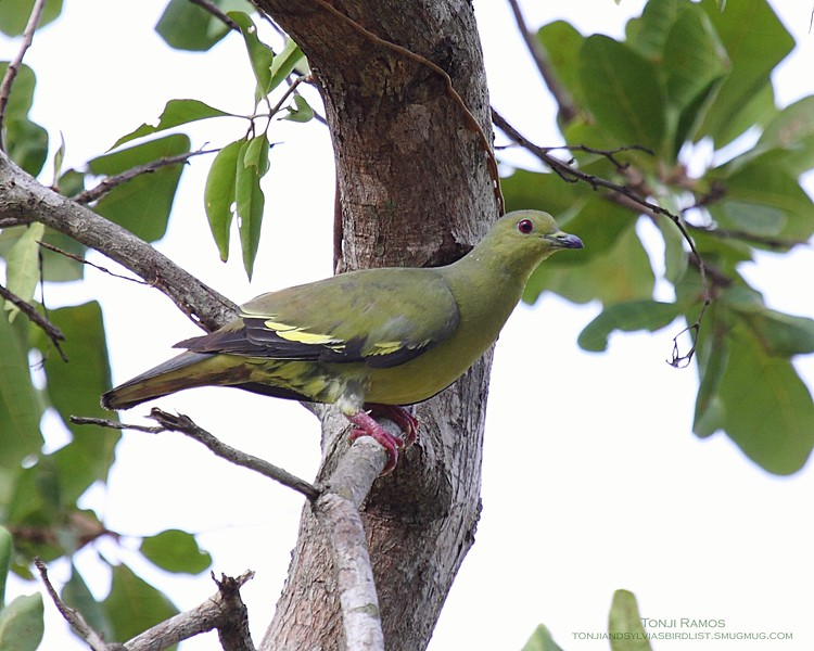 """PINK-NECKED GREEN PIGEON, female <i>Treron vernans</i> Sabang, Palawan, Philippines  More pictures in the <a href=""""http://tonjiandsylviasbirdlist.smugmug.com/gallery/7354120_pWdw5/1/563293110_MMGYR"""">Pink Necked Green Pigeon gallery<a/>"""
