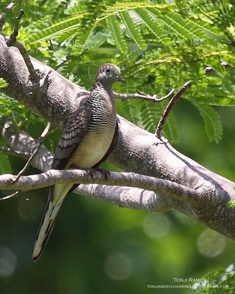 "ZEBRA DOVE <i>Geopelia striata</i> Sabang, Palawan, Philippines  More pictures in the <a href=""http://tonjiandsylviasbirdlist.smugmug.com/gallery/7383191_rDoMs/1/563303061_t4CaX"">Zebra Dove gallery<a/>"