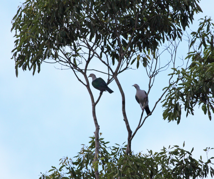 """GREEN IMPERIAL PIGEON <i>Ducula aenea</i> Sabang, Palawan, Philippines  More pictures in the <a href=""""http://tonjiandsylviasbirdlist.smugmug.com/gallery/7604125_mj45X/1/568143958_FGVE9"""">Green Imperial Pigeon gallery</a>"""