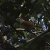 GREY-CHEEKED BULBUL <i>Criniger bres</i> Sabang, Palawan, Philippines